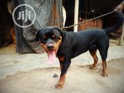 Adult Male Purebred Rottweiler   Dogs & Puppies for sale in Abuja (FCT) State, Galadimawa