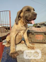 Young Female Purebred Neapolitan Mastiff | Dogs & Puppies for sale in Lagos State, Badagry
