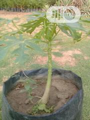 Dwarf Paw Paw Seedligs | Feeds, Supplements & Seeds for sale in Abuja (FCT) State, Jabi