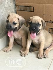 Baby Female Purebred Boerboel | Dogs & Puppies for sale in Oyo State, Ido