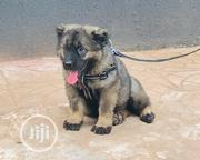 Baby Female Purebred Caucasian Shepherd Dog | Dogs & Puppies for sale in Anambra State, Onitsha