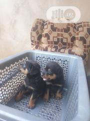 Baby Male Purebred Rottweiler | Dogs & Puppies for sale in Lagos State, Ikorodu