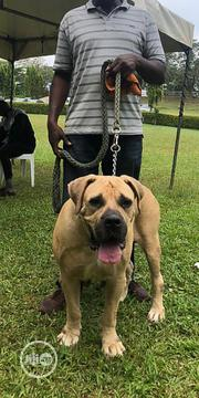 Adult Female Purebred Boerboel   Dogs & Puppies for sale in Abuja (FCT) State, Gudu