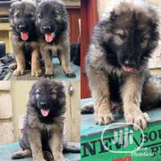 Young Female Purebred Caucasian Shepherd Dog | Dogs & Puppies for sale in Lagos State, Maryland