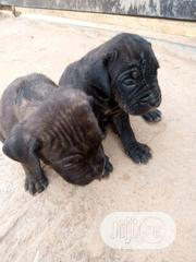 Baby Male Purebred Boerboel   Dogs & Puppies for sale in Abuja (FCT) State, Kubwa