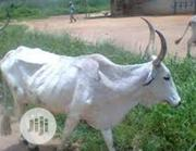 Cows For Sell | Livestock & Poultry for sale in Plateau State, Bassa-Plateau
