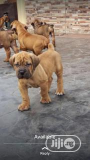Baby Female Purebred Boerboel | Dogs & Puppies for sale in Lagos State, Gbagada