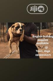 Senior Male Purebred Bulldog | Dogs & Puppies for sale in Lagos State, Alimosho