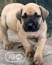 Baby Female Purebred | Dogs & Puppies for sale in Ekiti State, Ikole