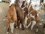 RAMS ( SUDANESE RAMS) Both Young And Adults | Livestock & Poultry for sale in Borno State, Maiduguri