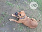 Adult Female Purebred Boerboel | Dogs & Puppies for sale in Cross River State, Calabar