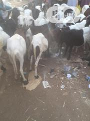 Rams And Goats | Livestock & Poultry for sale in Jigawa State, Maigatari