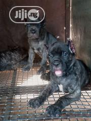 Baby Female Purebred Cane Corso | Dogs & Puppies for sale in Kaduna State, Kaduna