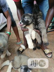 Baby Male Purebred Caucasian Shepherd Dog | Dogs & Puppies for sale in Lagos State, Isolo