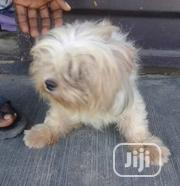 Adult Female Mixed Breed Lhasa Apso | Dogs & Puppies for sale in Lagos State, Ojo