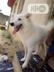 Adult Male Purebred American Eskimo Dog | Dogs & Puppies for sale in Lagos State, Ikorodu
