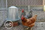 Broilers And Cockerels For Sale. | Livestock & Poultry for sale in Anambra State, Awka