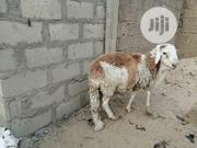 Foreign Animals | Livestock & Poultry for sale in Yobe State, Nguru