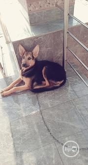 Adult Male Mixed Breed German Shepherd Dog | Dogs & Puppies for sale in Ekiti State, Efon