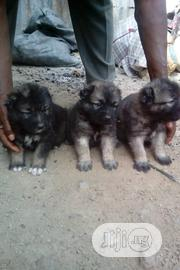 Baby Female Purebred Caucasian Shepherd Dog | Dogs & Puppies for sale in Plateau State, Jos