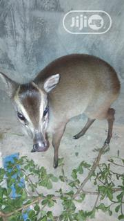 Domesticated Animal | Other Animals for sale in Ekiti State, Oye