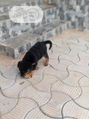 Baby Male Purebred Rottweiler | Dogs & Puppies for sale in Plateau State, Jos