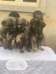 Baby Male Purebred Caucasian Shepherd | Dogs & Puppies for sale in Lagos State, Magodo