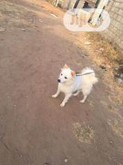 Young Male Purebred American Eskimo | Dogs & Puppies for sale in Lagos State, Magodo