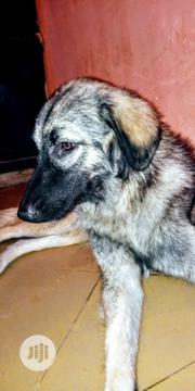 Young Female Purebred Caucasian Shepherd | Dogs & Puppies for sale in Cross River State, Calabar