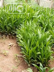 Hybrid Tenera Oil Palm And Cashew Seedlings   Meals & Drinks for sale in Oyo State, Ibadan