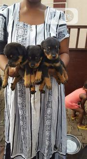 Baby Male Purebred Rottweiler | Dogs & Puppies for sale in Abuja (FCT) State, Central Business Dis