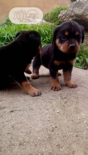 Baby Female Purebred Rottweiler | Dogs & Puppies for sale in Plateau State, Jos