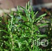 Rosemary Seedling Plant Herbs And Spices | Meals & Drinks for sale in Plateau State, Jos